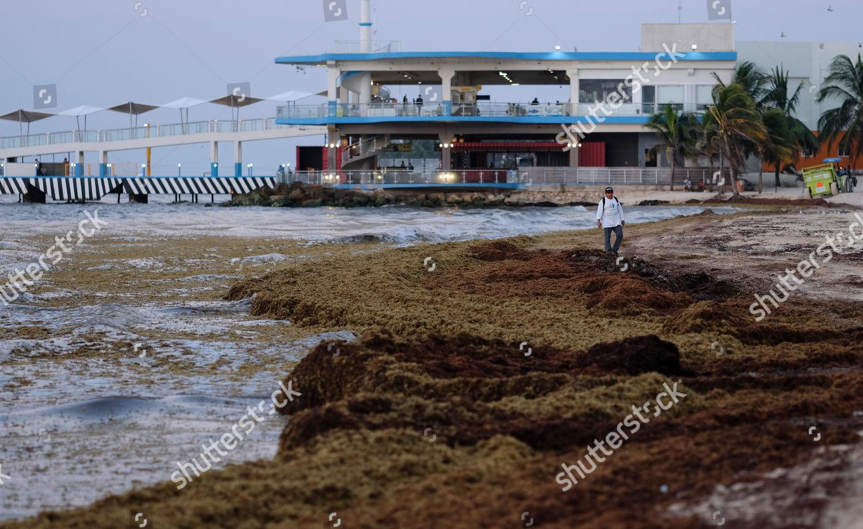 man walks on beach covered sargassum seaweed Editorial Stock