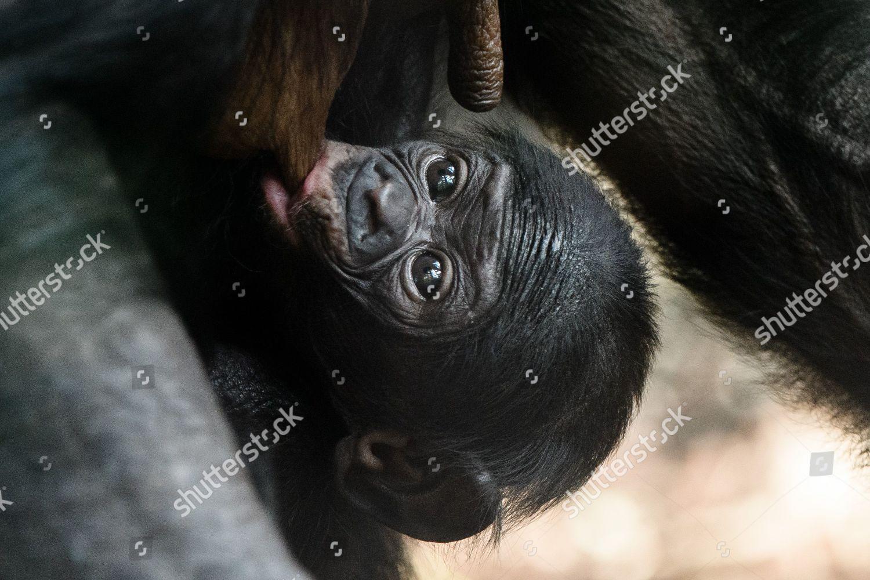 onemonthold bonobo cub Matayo sucks breast mother Editorial
