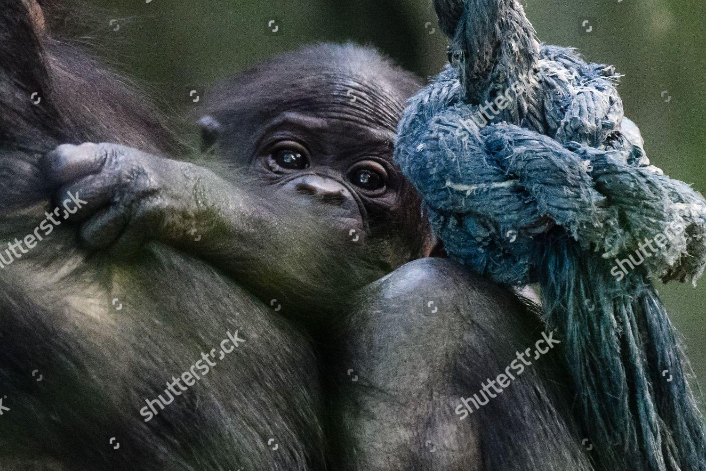 onemonthold bonobo cub Matayo clings mother Opala Editorial