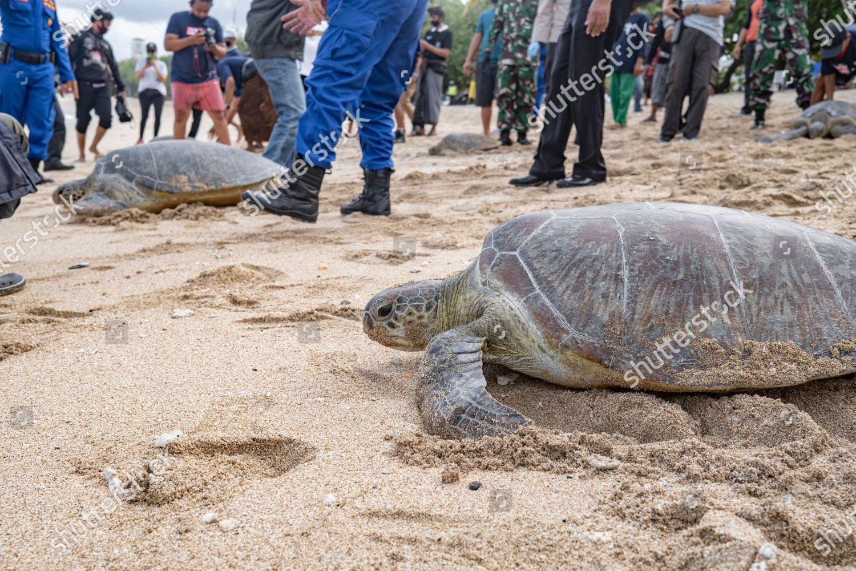 Green Sea Turtle Chelonia Mydas Makes Way Editorial Stock Photo Stock Image Shutterstock