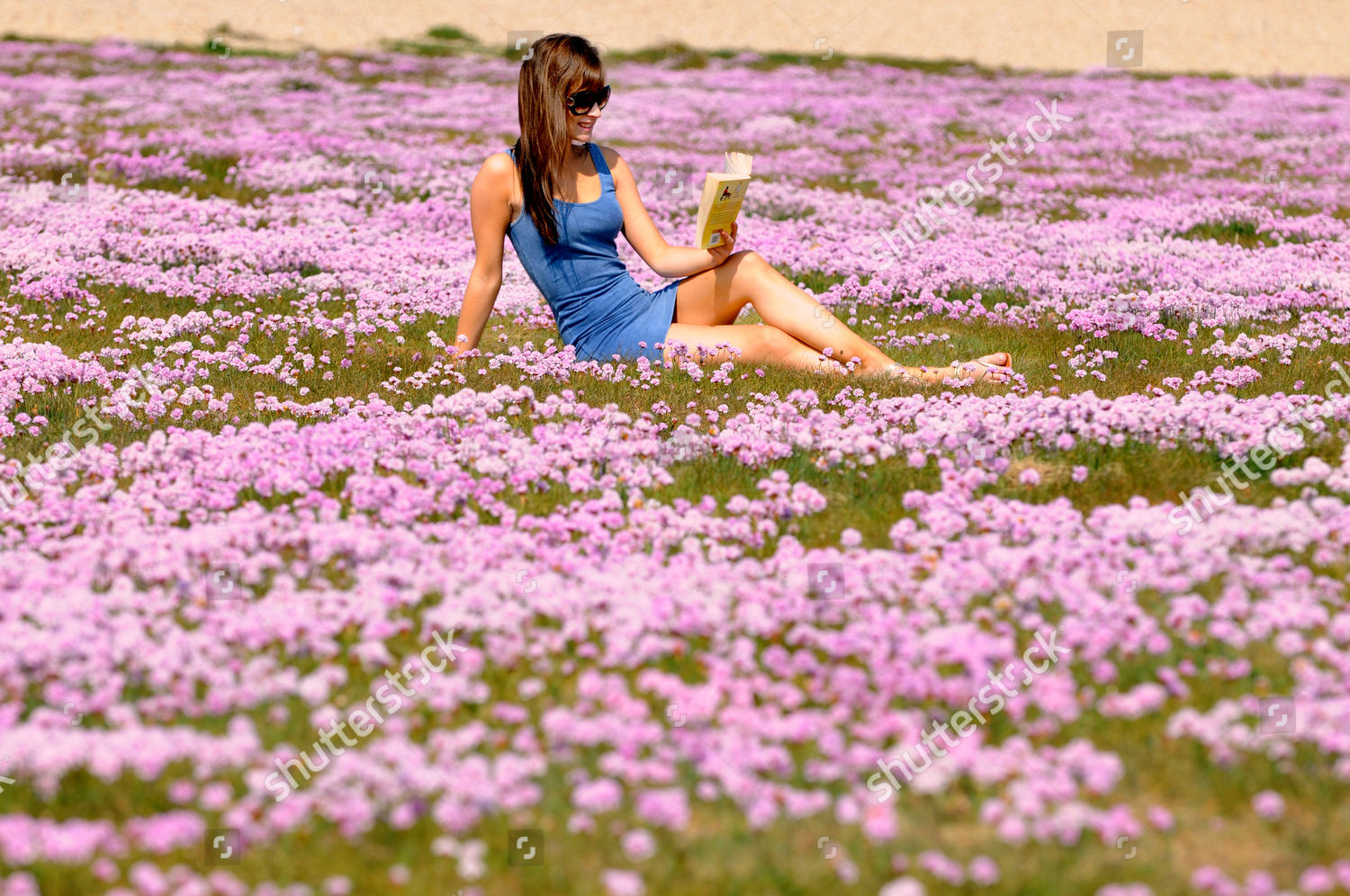 Rachel storey 22 amongst sea pinks editorial stock photo stock sea pinks armeria maritima in full flower at portland in dorset britain mightylinksfo