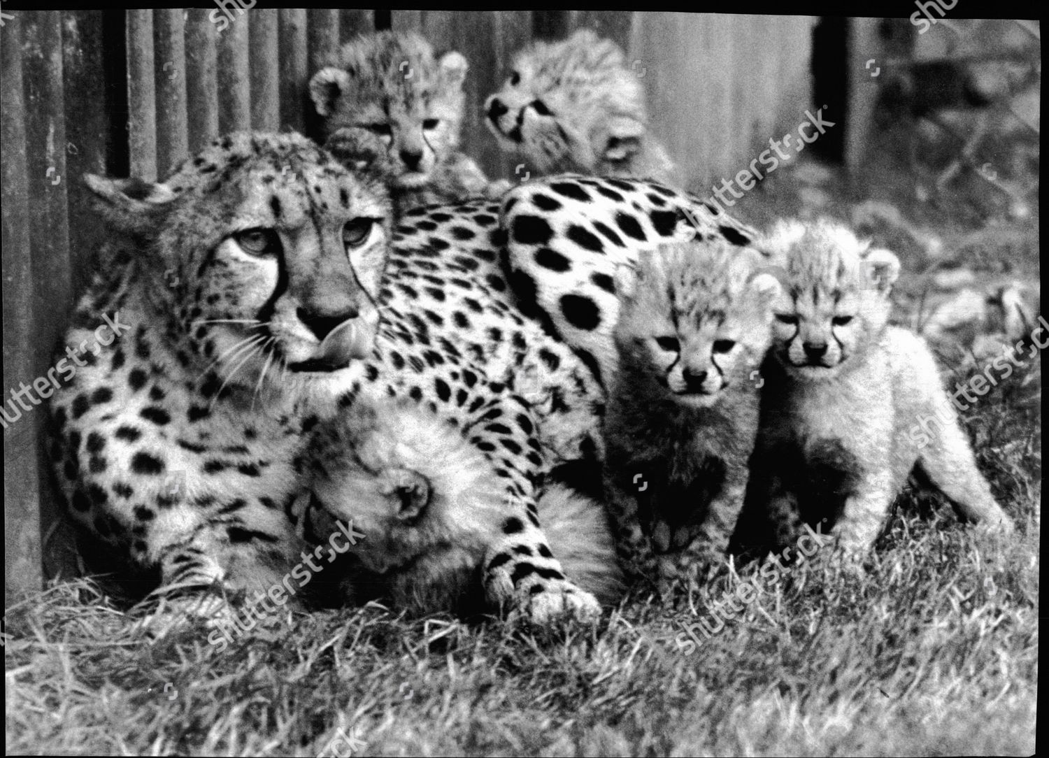 Cheetah With Cubs At Whipsnade Zoo