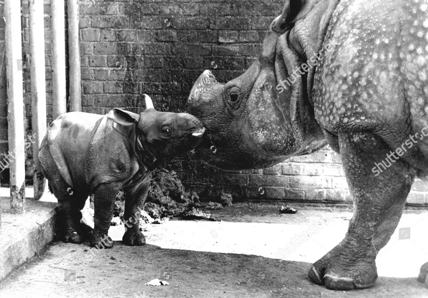 Indian Rhino Bheema With His Mother At Whipsnade Zoo