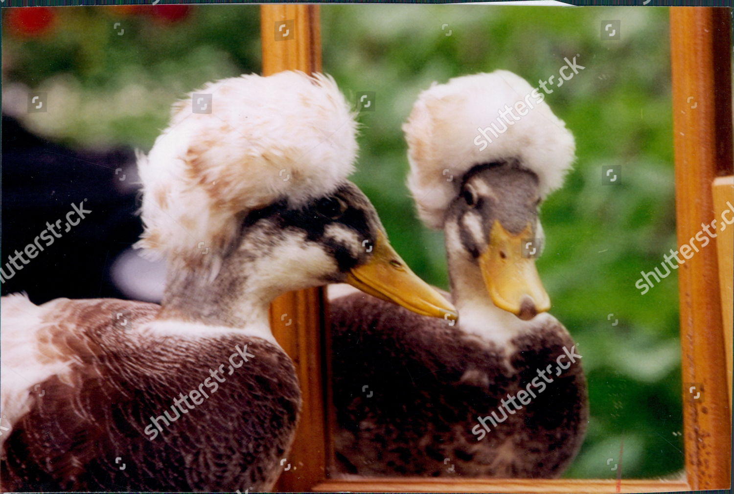 Editorial Who Is Looking Out For These >> Ducks Bred By Malcolm Hicks 16 His Editorial Stock Photo Stock