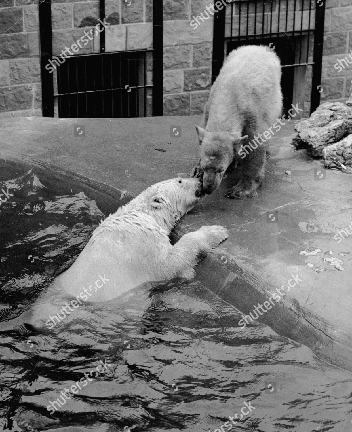 Porgy Bess The Polar Bears At Chessington Zoo Takes Plunge In
