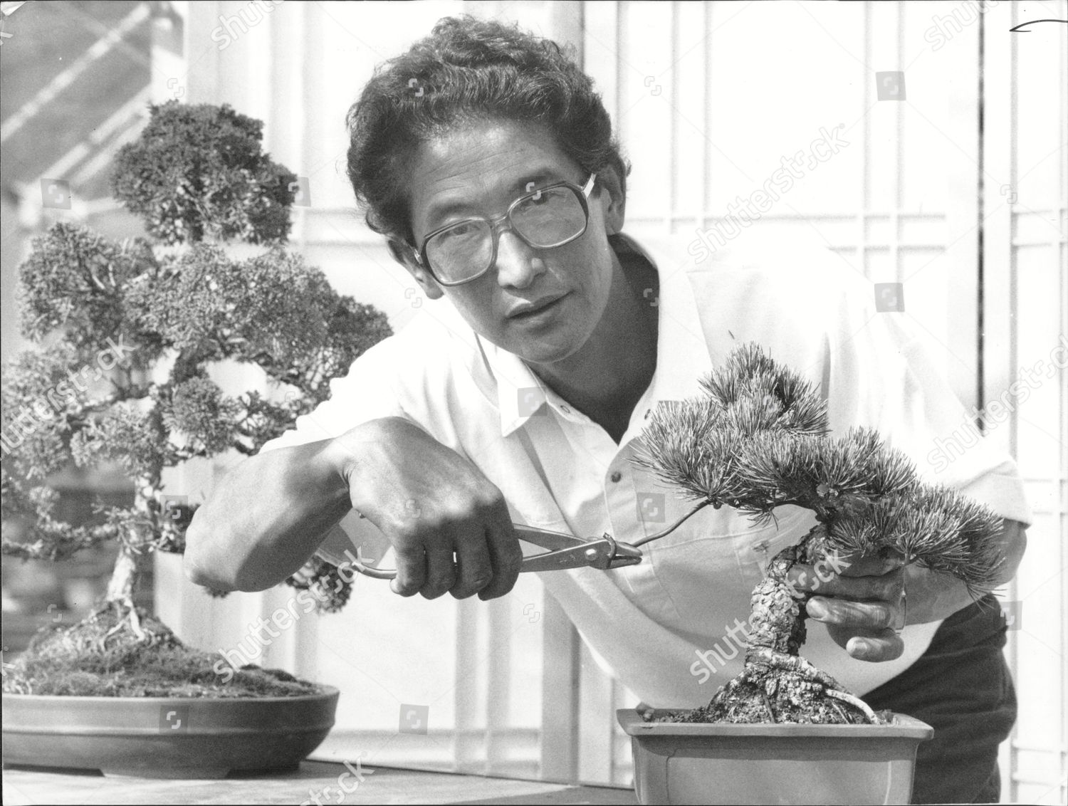 Peter Chan His Bonsai Trees Editorial Stock Photo Stock Image Shutterstock