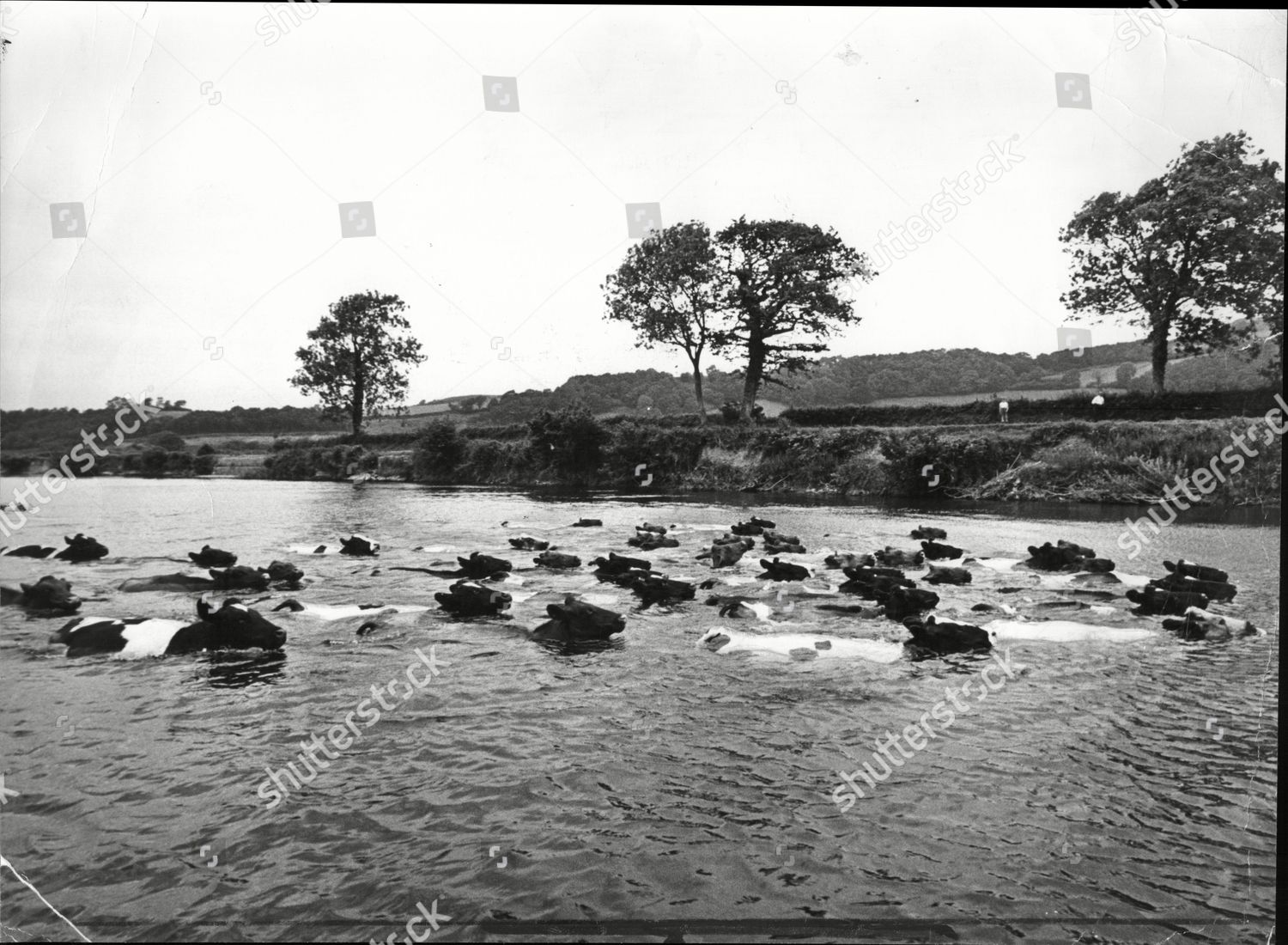 Not Cowboy Insight Cattle Swim Strongly Across Editorial Stock Photo