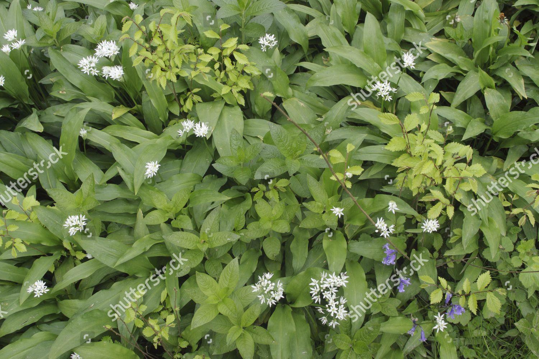 Ramsons Allium Ursinum Hazel Corylus Avellana Saplings Editorial