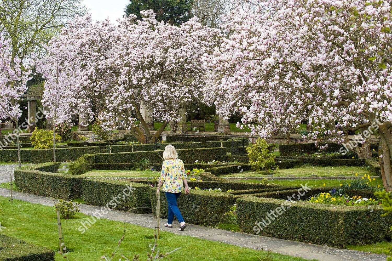 Magnolia Trees Finally Flower Into Full Bloom Editorial Stock Photo