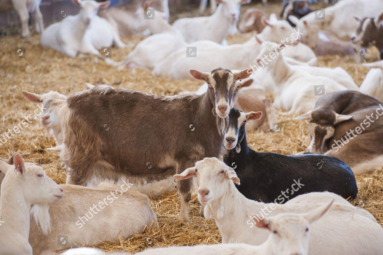 Domestic Goat Saanen Toggenburg British Alpine nanny