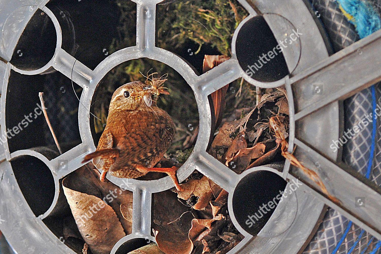 Wren Feeds Her Chicks Inside Hose Reel Editorial Stock Photo