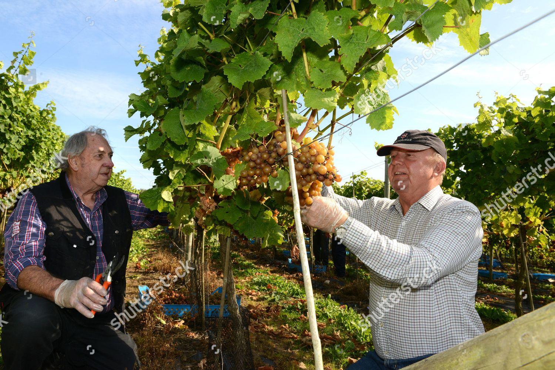 Derek Williams Graham Page picking Siegerrebe grapes