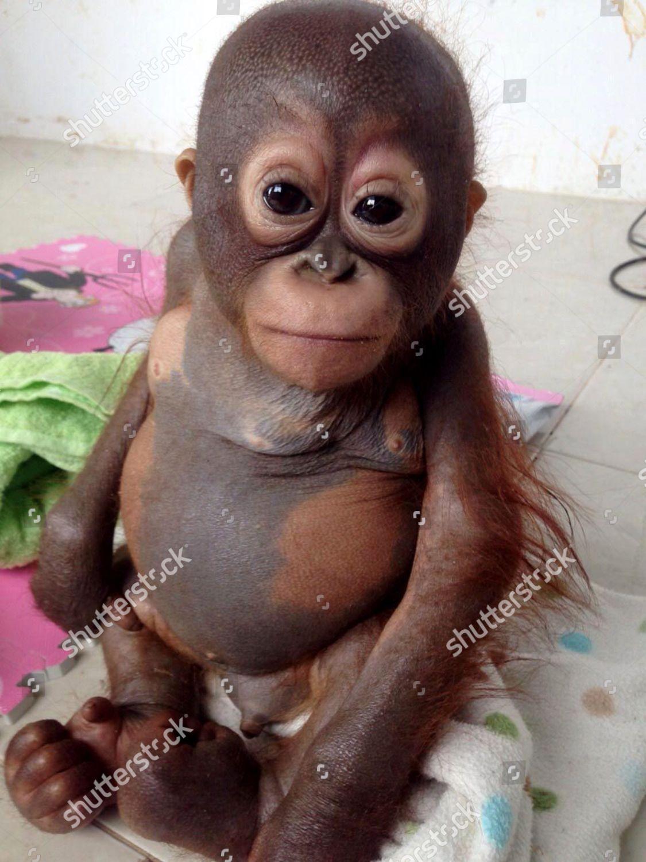Baby orangutan Budi being cared IAR centre Editorial Stock