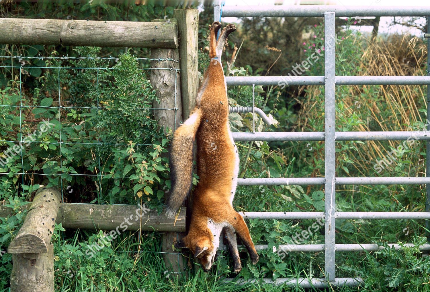 DEAD FOX MEANING DO NOT TRESPASS Editorial Stock Photo - Stock Image