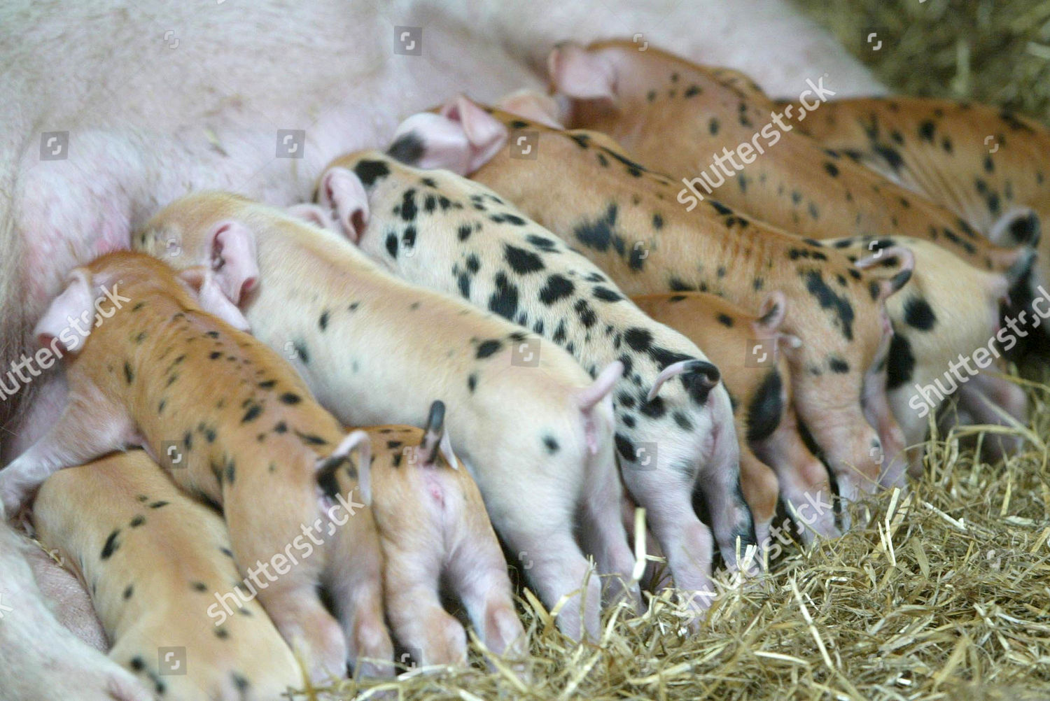 SOW FEEDING LITTER PIGLETS Editorial Stock Photo - Stock
