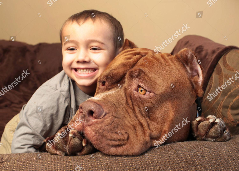 Pitbull Hulk toddler Jordan Grennan Editorial Stock Photo