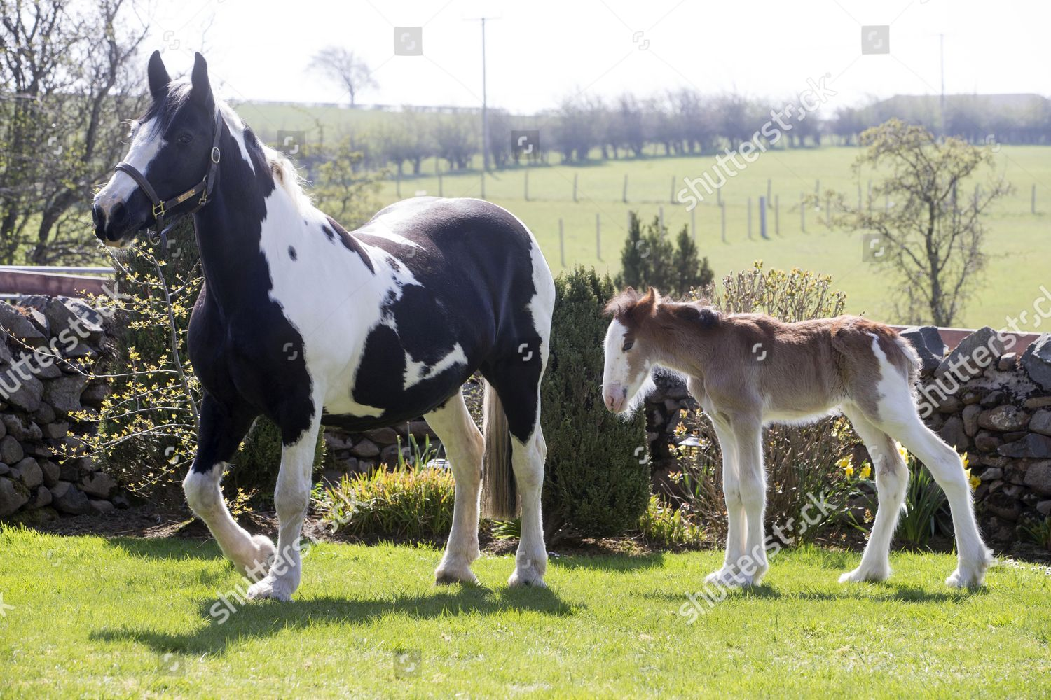 Baby Clydesdale Horse Wee Fighter Surrogate Mother Editorial Stock Photo Stock Image Shutterstock