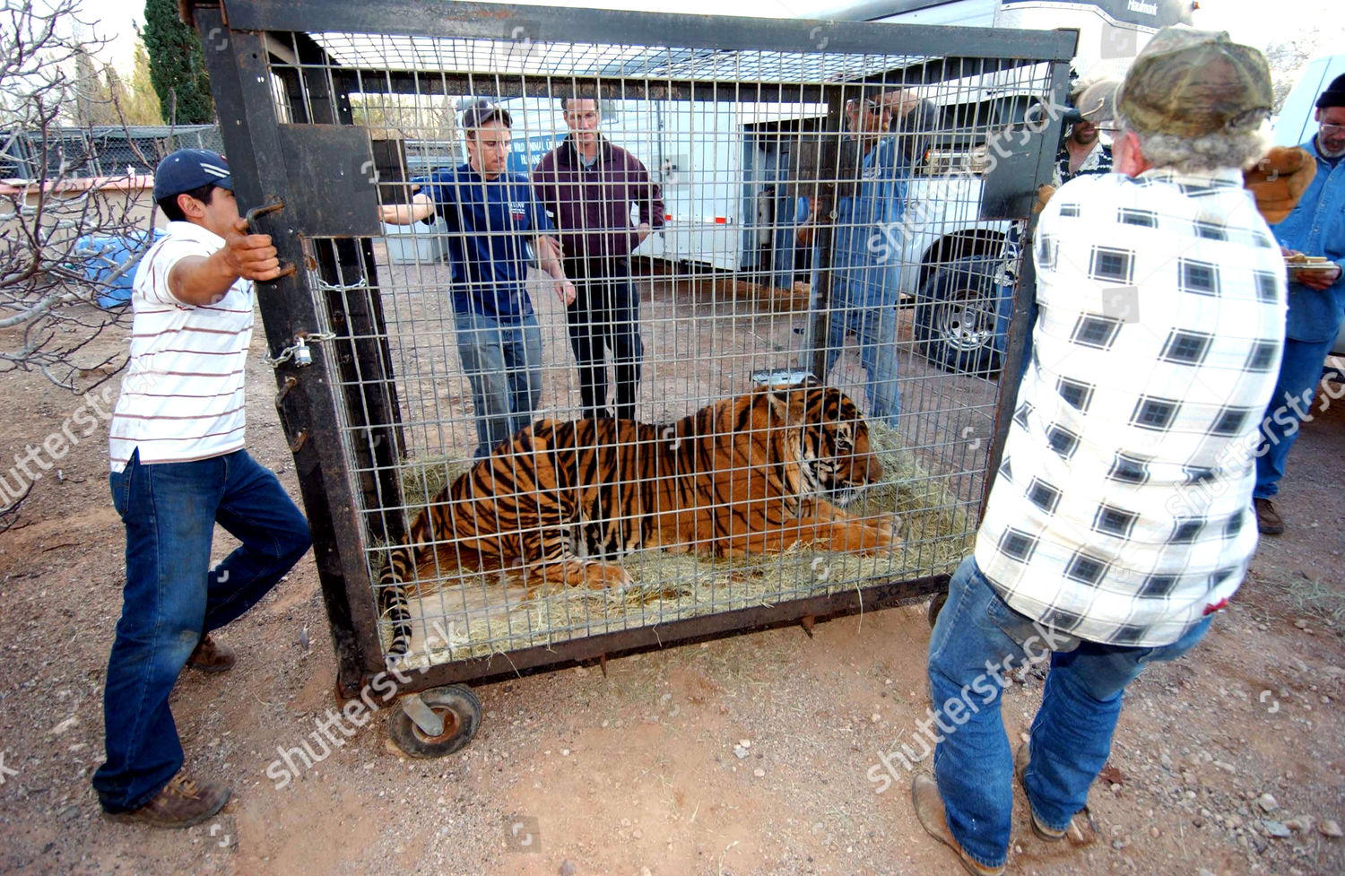 collection lions tigers wolves removed residential area Editorial