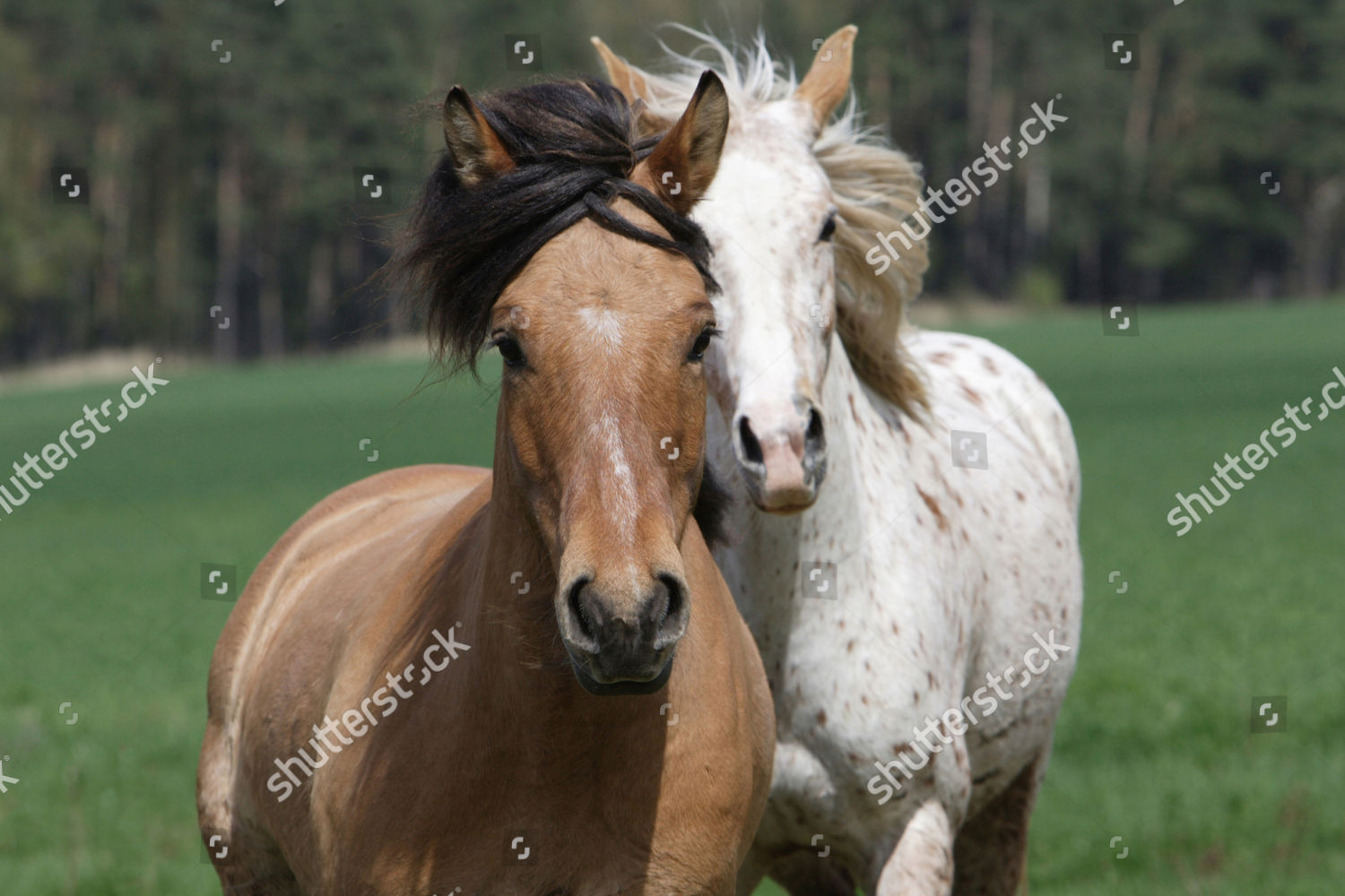 Draught Horse Or Draft Horse Appaloosa Editorial Stock Photo Stock Image Shutterstock