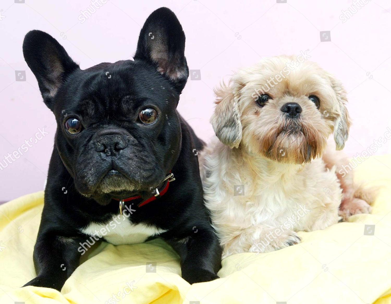 What Do You Get You Cross Bulldog Editorial Stock Photo