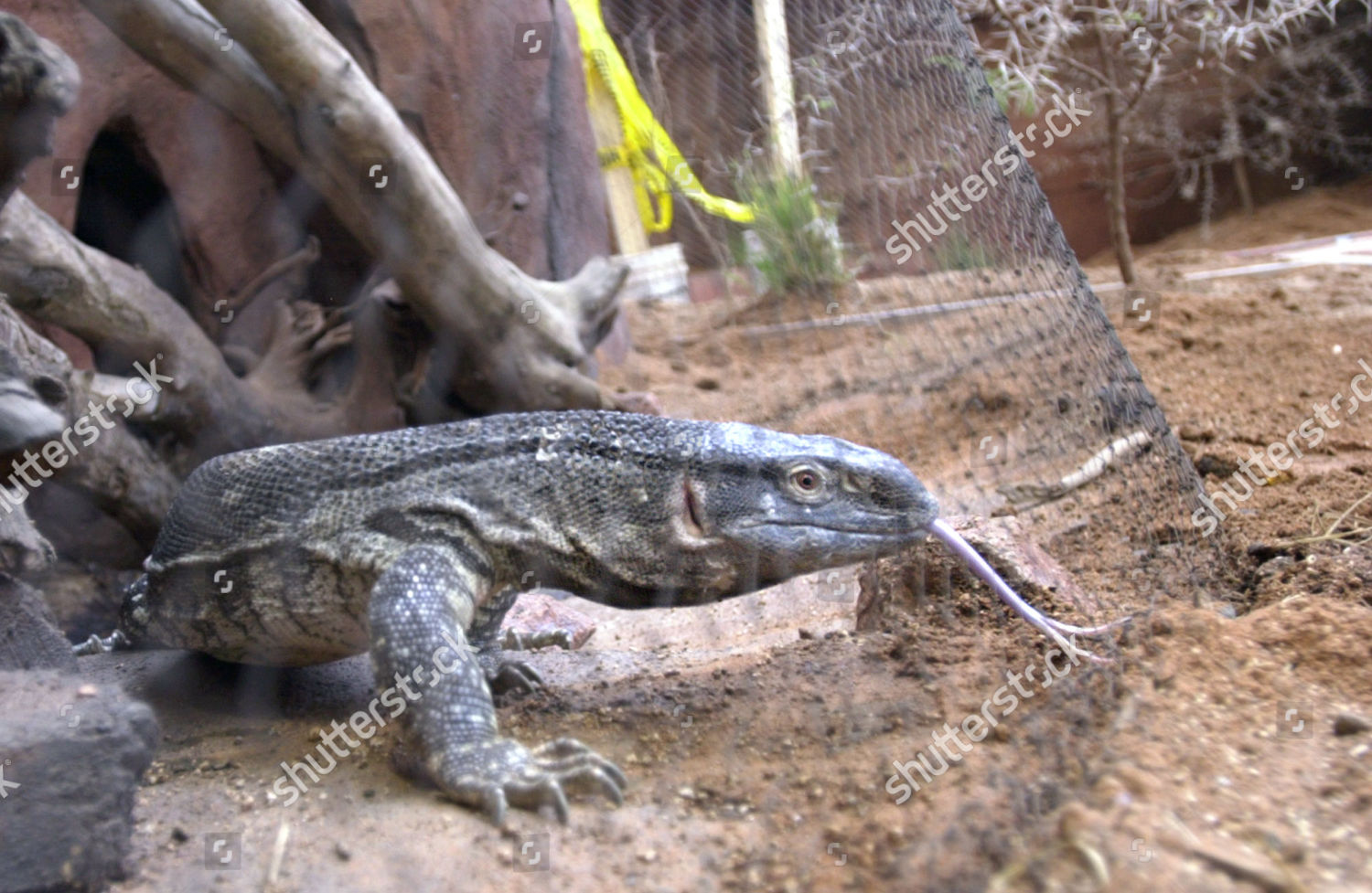 Monitor Lizard Male African White Throated Monitor Editorial Stock
