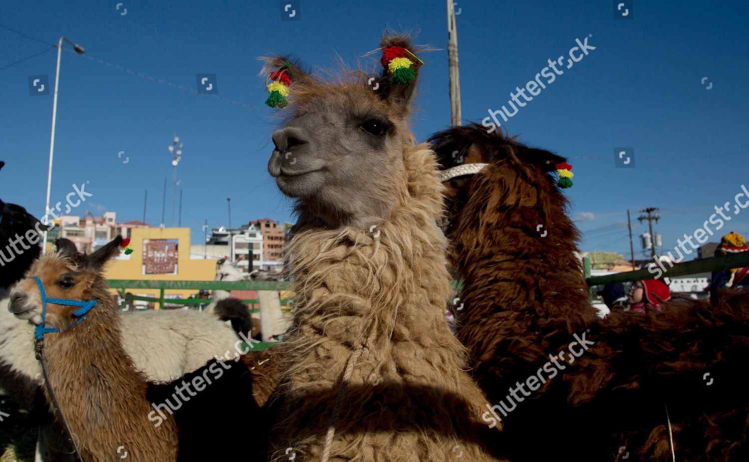 Expo Stand Bolivia : Llamas stand others during annual camelid expo editorial stock
