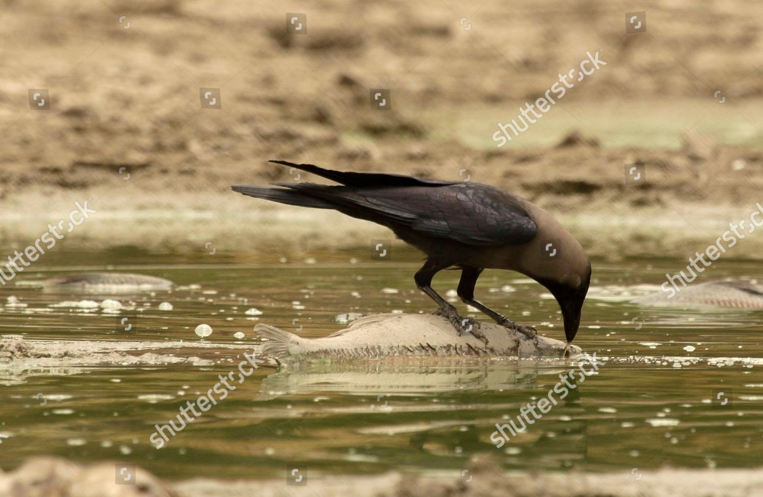 crow feeds on carcasses Magur Black African Editorial Stock