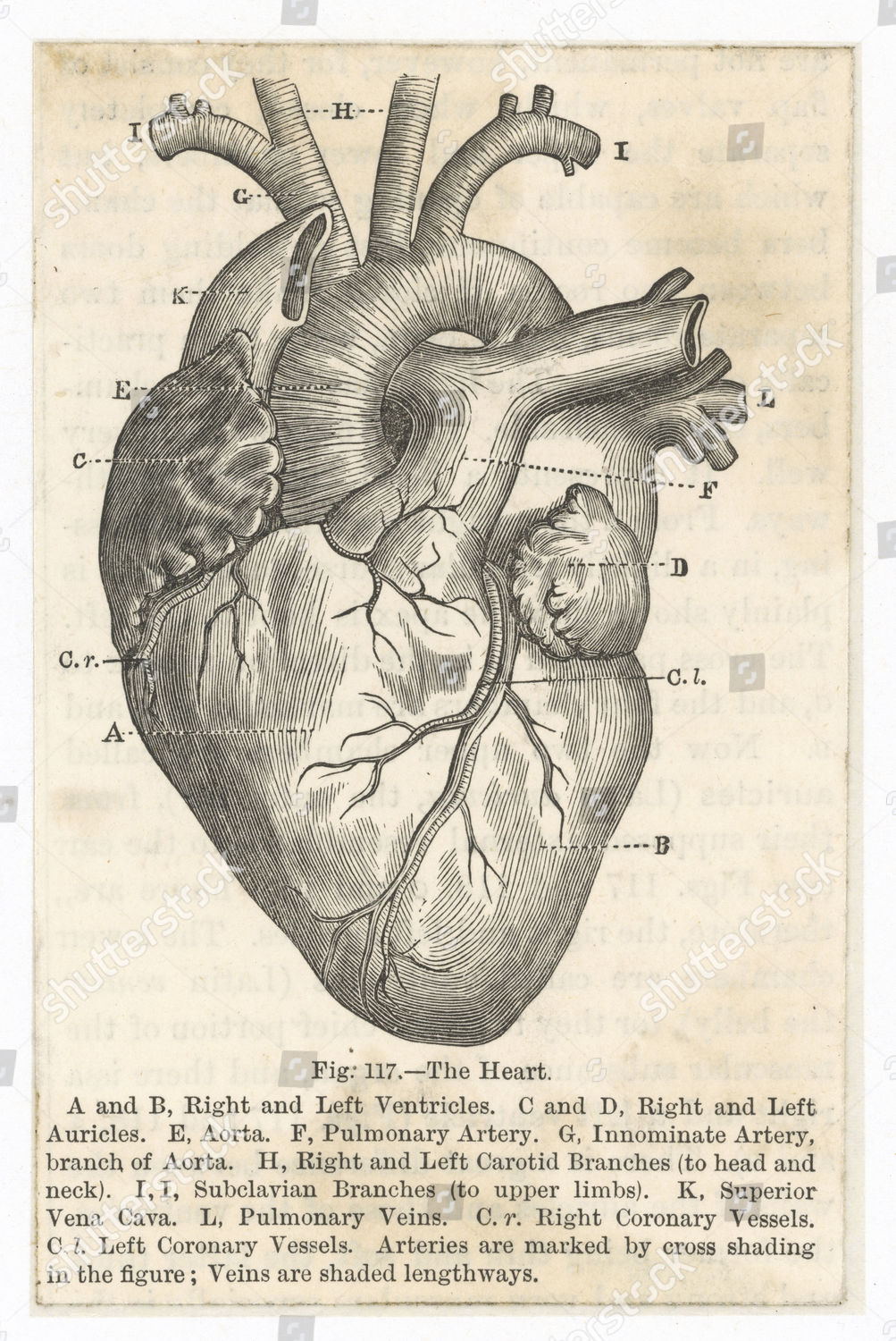 Heart Showing Ventricles Auricles Aorta Arteries Carotid Editorial