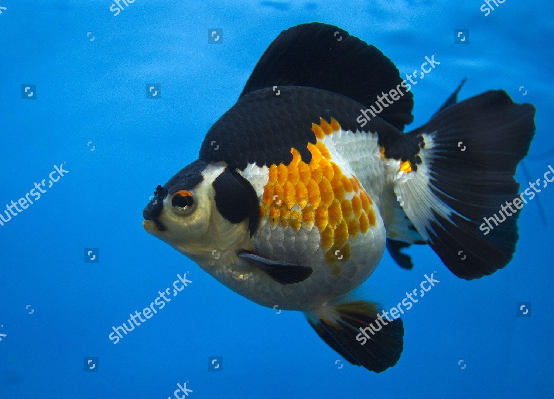 First Place Goldfish Category Ryukin 1017cm Swim Editorial