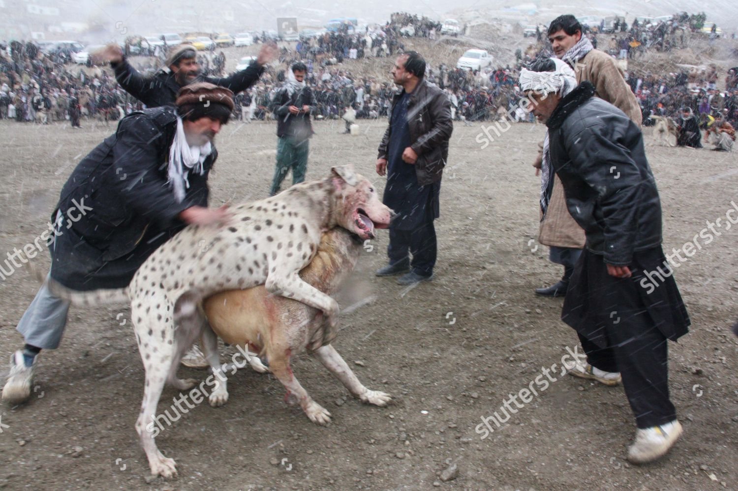 Afghan Dogs Battle During Weekly Dog Fights Editorial Stock