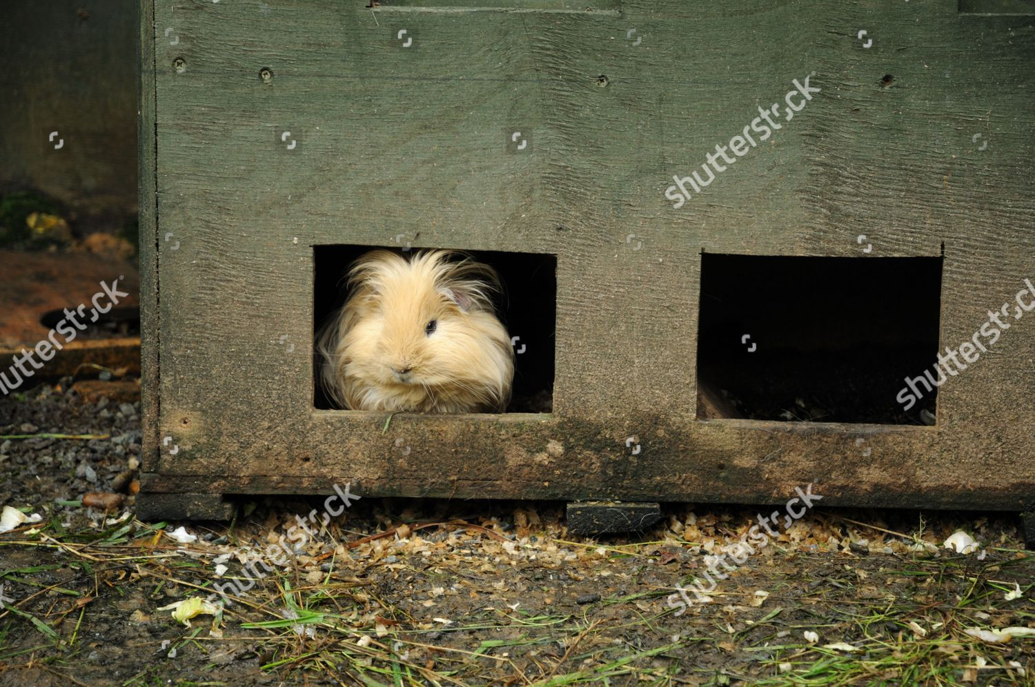 Guinea pigs live outside children feed they Editorial Stock