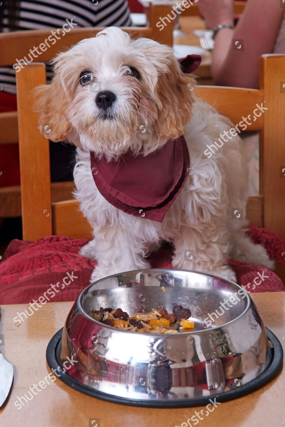 Muffin dog eating Tempest dog friendly restaurant Editorial