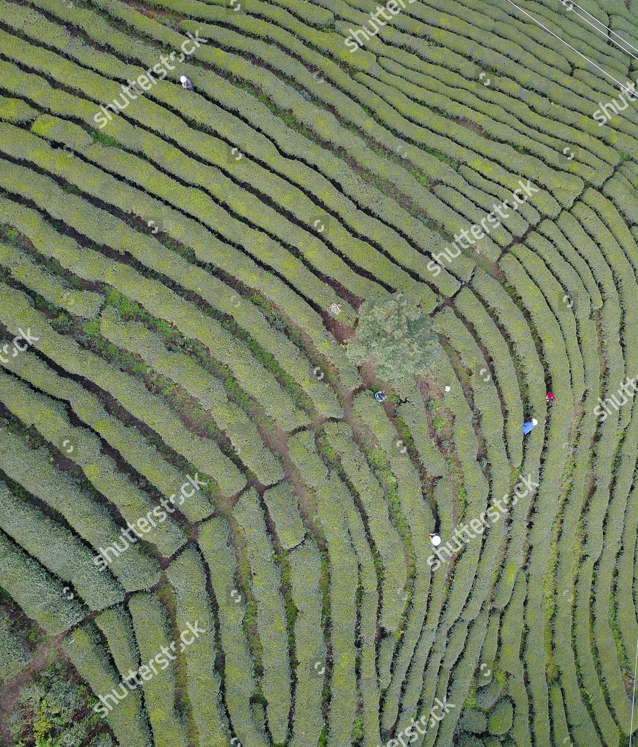 Scenery Tea Plantations Puan Southwest Chinas Guizhou