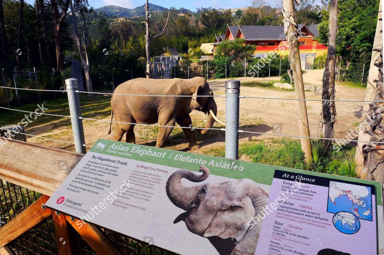 Billy male Asian elephant roams his habitat Editorial Stock Photo
