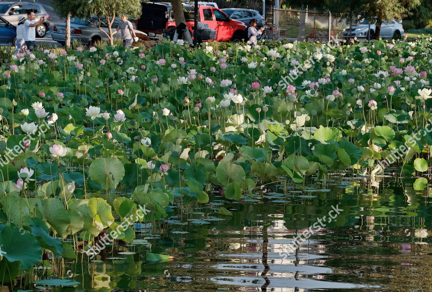 People Take Pictures Lotus Flowers Along Echo Editorial Stock Photo