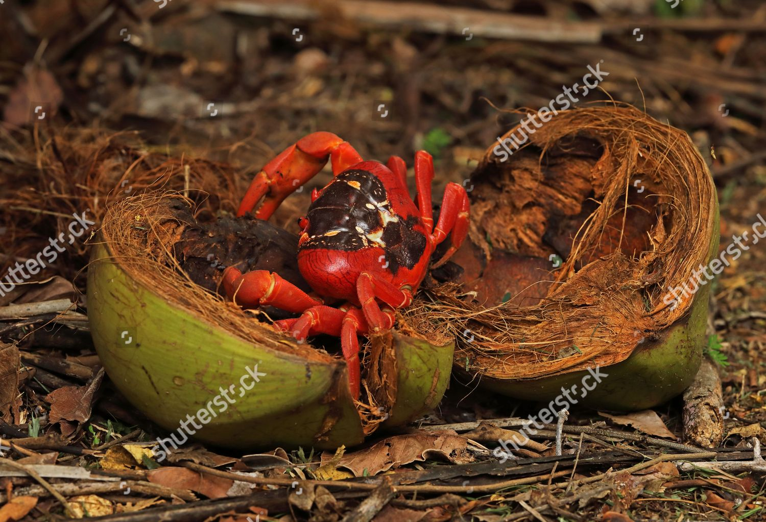 Christmas Island Red Crab.Christmas Island Red Crab Gecarcoidea Natalis Adult