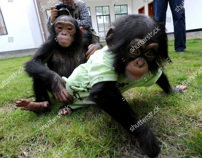 Baby Chimpanzee Editorial Stock Photo - Stock Image | Shutterstock