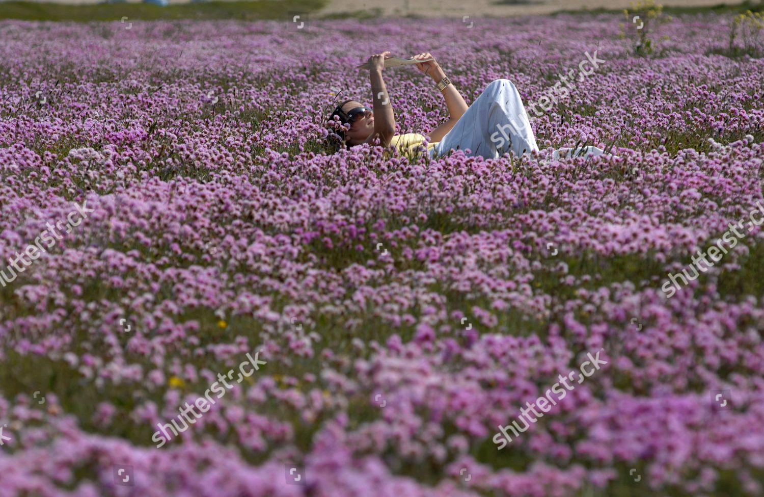 Woman relaxing amongst sea pinks on chesil editorial stock photo swathes of sea pinks armeria maritima in full flower at chesil beach in dorset mightylinksfo