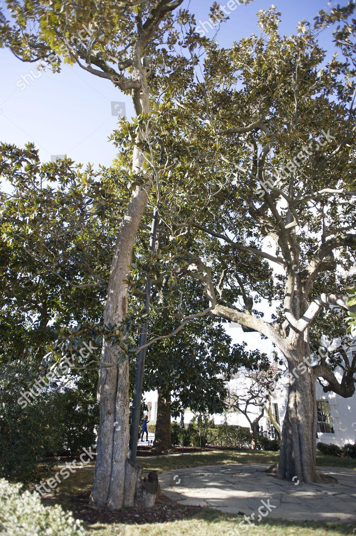 Jackson Magnolia Tree That Planted On White Editorial Stock Photo