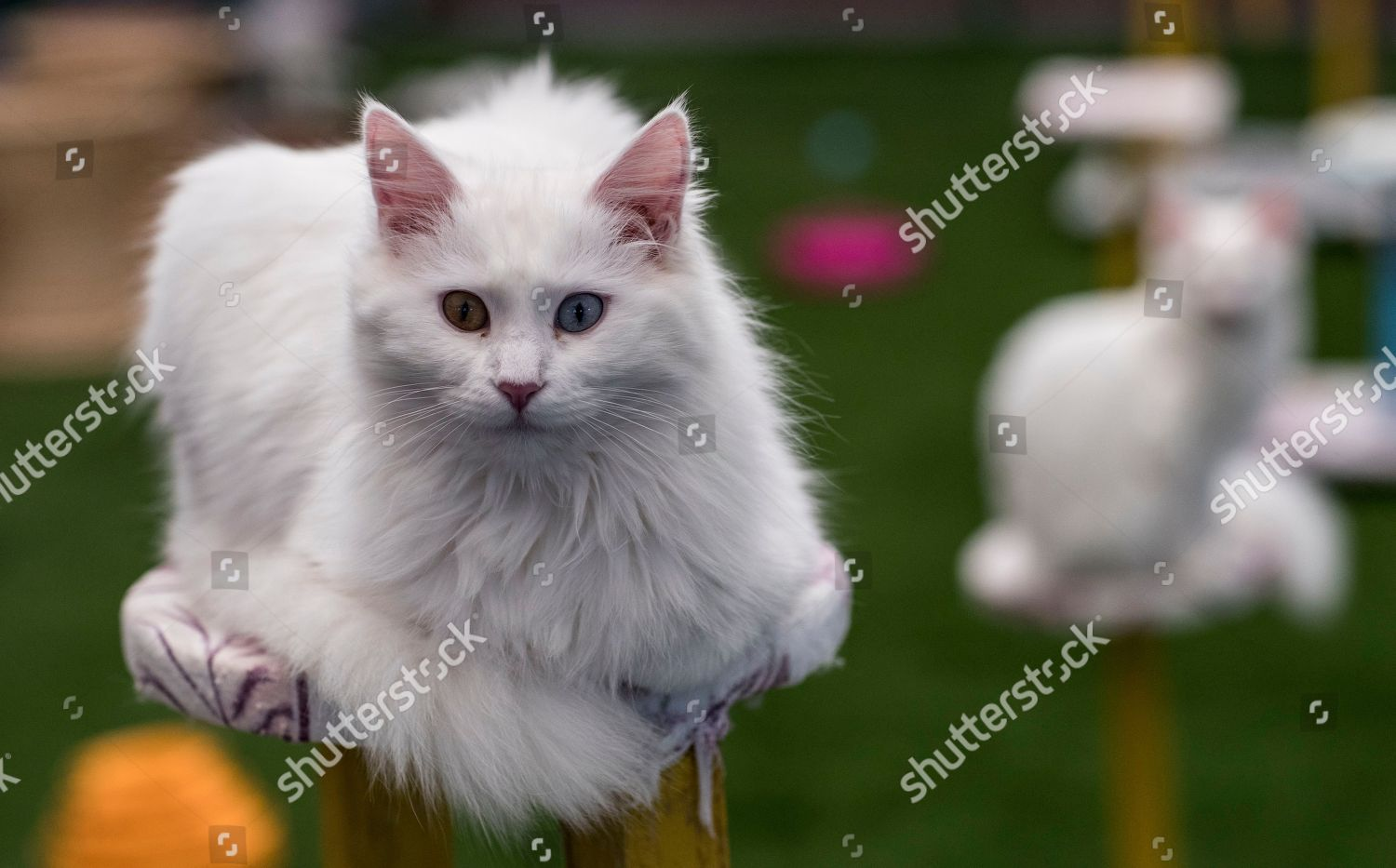 fb6f5884cf Turkish Van Cats two different colored eyes Editorial Stock Photo ...