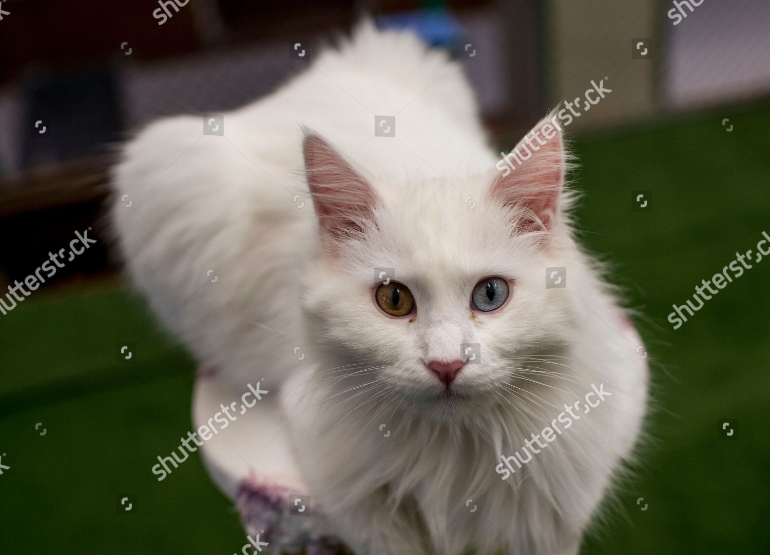 35b4529136 Turkish Van Cat two different colored eyes Editorial Stock Photo ...