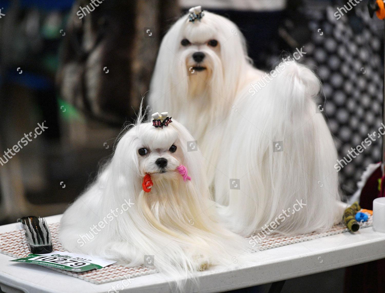 Two Maltese Dogs Crufts Dog Show National Foto Editorial Imagem De Banco Shutterstock