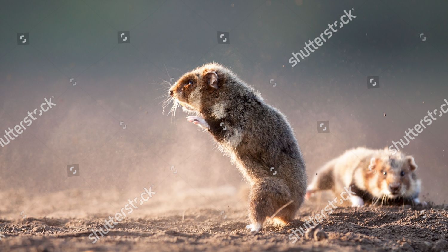 Two hamsters take kungfu pose duel Editorial Stock Photo - Stock