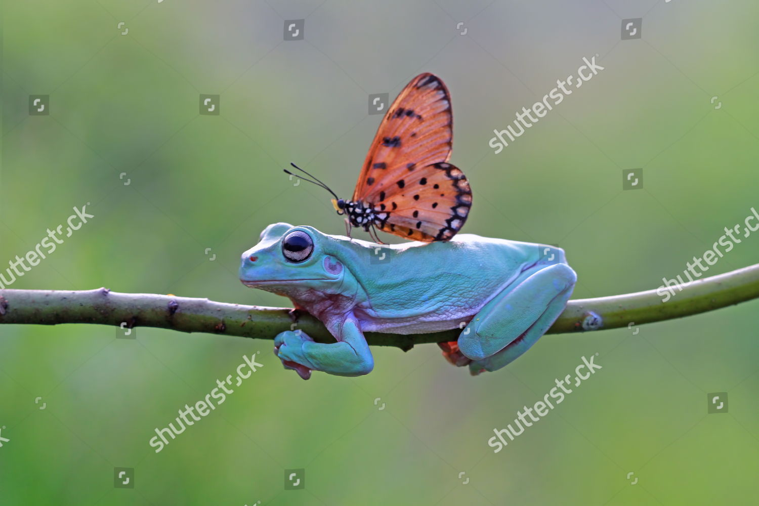 Stock photo of Frog and butterfly, Tangerang Baten, West Java, Indonesia - 09 May 2018