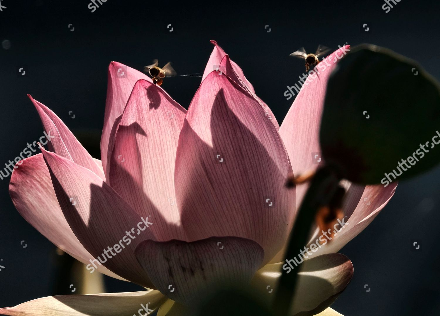 Bumble Bees Land On Lotus Flower Along Editorial Stock Photo Stock