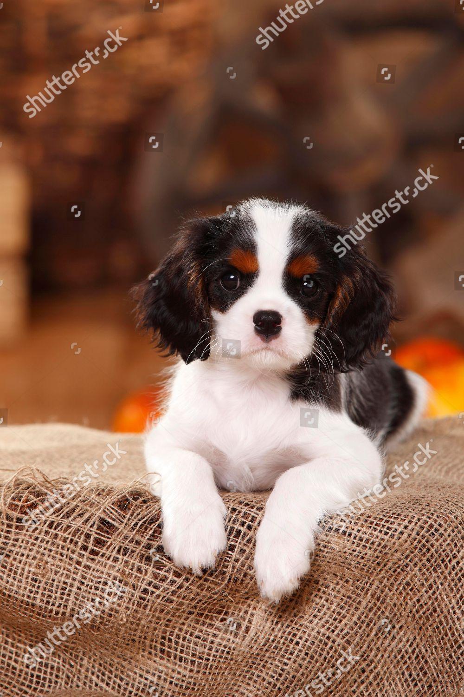 Cavalier King Charles Spaniel Puppy Tricolour 9 Foto Editorial En Stock Imagen En Stock Shutterstock