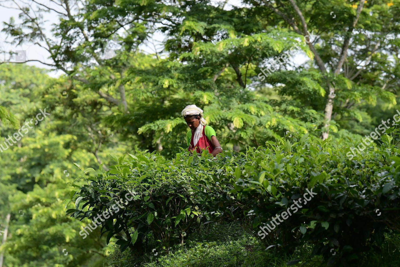 Women Collecting Tea Leaves Durgabari Tea Estate Editorial Stock Photo Stock Image Shutterstock