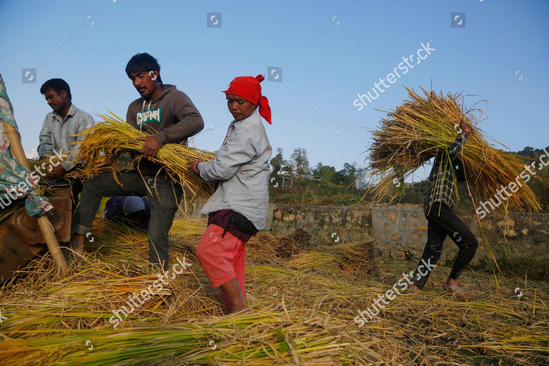 Nepalese farmers harvest paddy Chaukot outskirts Kathmandu Editorial