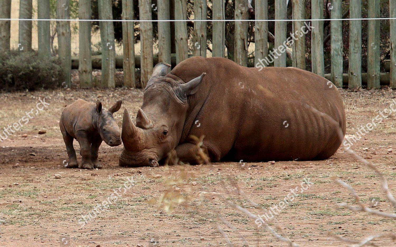newborn southern white rhino calf Imani roams Editorial