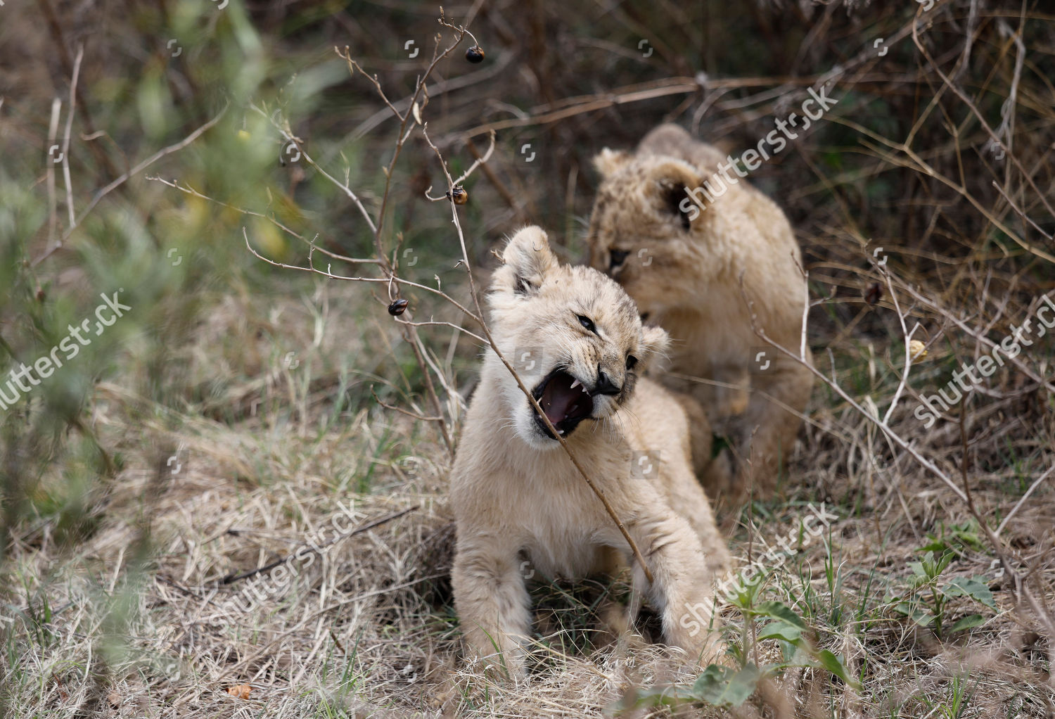 Lion cubs Isabel Victor seen playing grass Editorial Stock